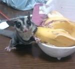 バナナとモモンガ.jpg